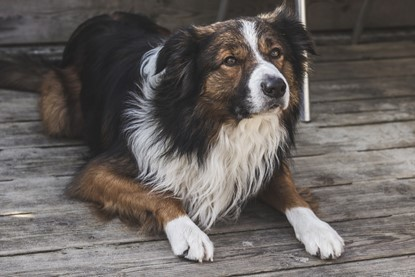 Border Collie Dog Breed Personality traits advice